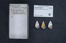Achatinella bellula httpsuploadwikimediaorgwikipediacommonsthu