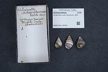 Achatinella buddii httpsuploadwikimediaorgwikipediacommonsthu