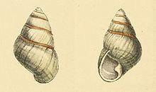 Achatinella livida httpsuploadwikimediaorgwikipediacommonsthu