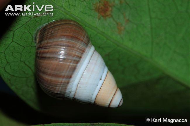Achatinella mustelina Oahu tree snail photo Achatinella mustelina G116650 ARKive