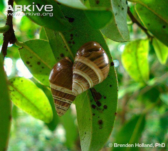 Achatinella mustelina Oahu tree snail videos photos and facts Achatinella mustelina