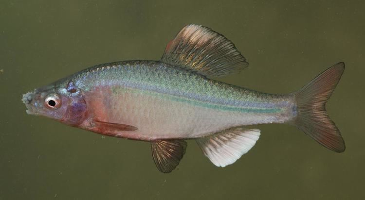Acheilognathus cyanostigma ffishasiaphotosspP1050609n87020130704jpg