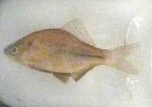 Acheilognathus tabira httpsuploadwikimediaorgwikipediacommonsthu
