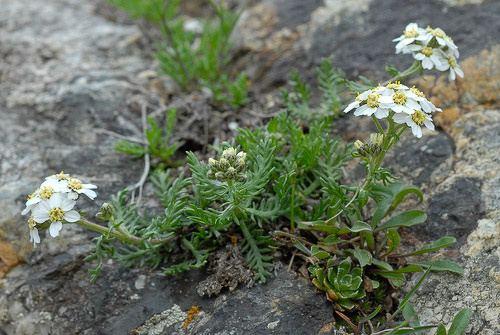 Achillea erba-rotta Achillea erbarotta subsp moschata Wulfen Vacc