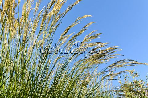 Achnatherum Image Feather grass Stipa calamagrostis syn Achnatherum