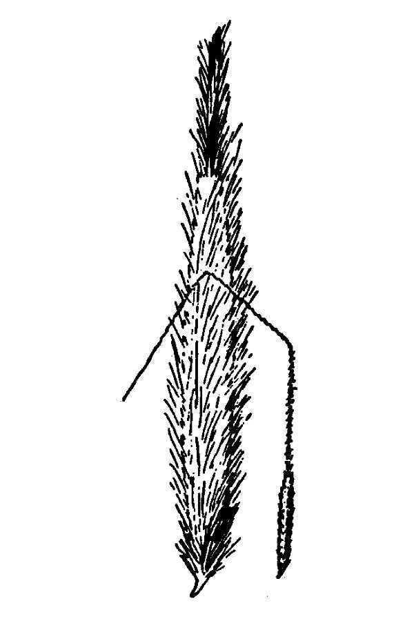 Achnatherum latiglume
