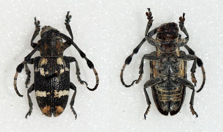 Achthophora chabacana