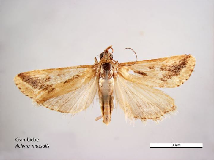 Achyra massalis