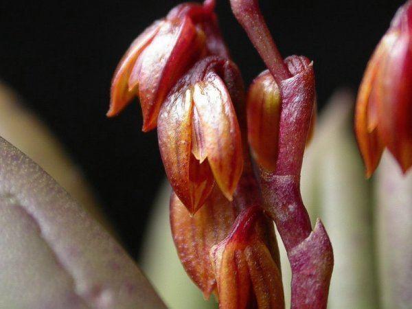 Acianthera johannensis