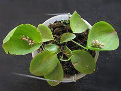 Acianthera pectinata httpsuploadwikimediaorgwikipediacommonsthu