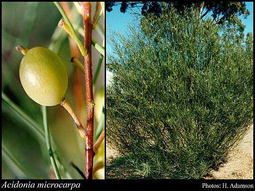 Acidonia httpsflorabasedpawwagovausciencetimage10