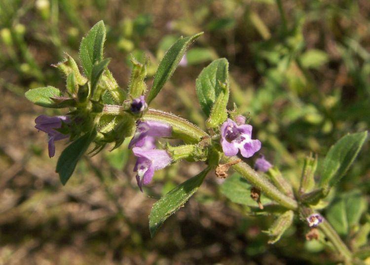 Acinos arvensis FileAcinos arvensis 1jpg Wikimedia Commons