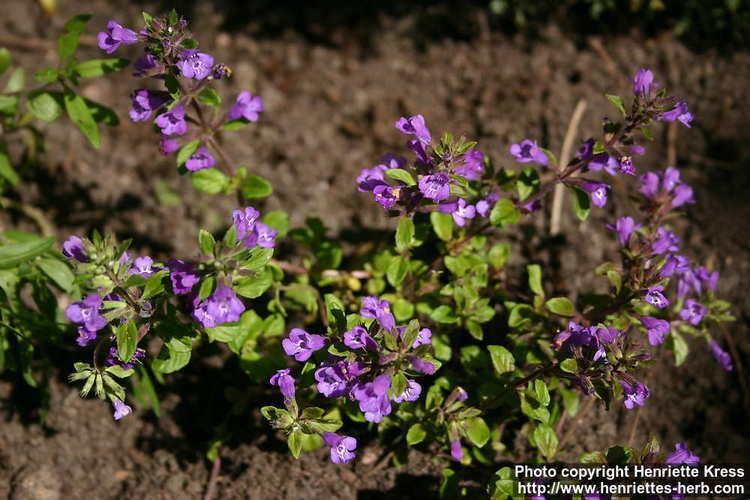 Acinos arvensis Photo Acinos arvensis 2 Henriette39s Herbal Homepage