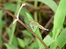 Acisoma Acisoma panorpoides Wikipedia