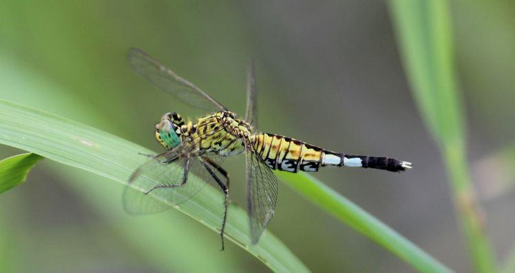 Acisoma Odonata of Bangladesh