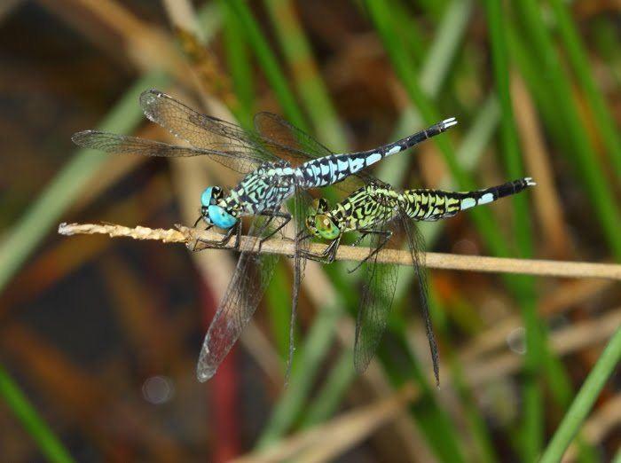 Acisoma Odonata of Peninsular Malaysia Acisoma panorpoides