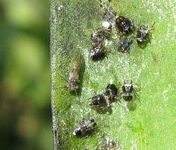 Acizzia uncatoides httpsuploadwikimediaorgwikipediacommonsthu