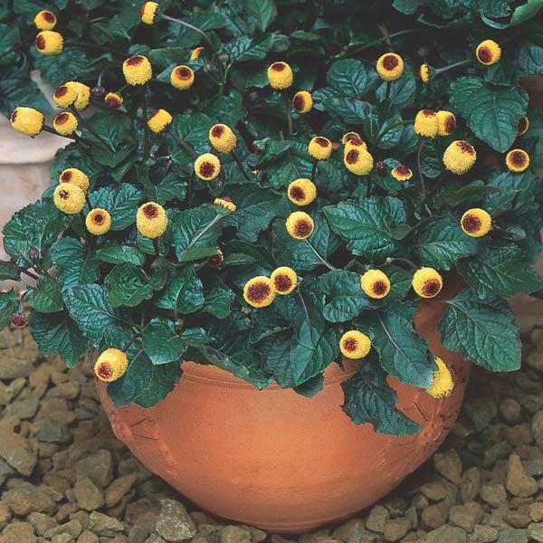 Acmella oleracea Spilanthes Acmella oleracea My Garden Insider