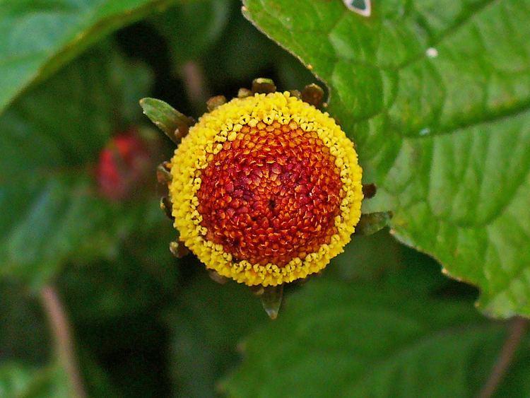 Acmella oleracea Acmella oleracea Eyeball Plant