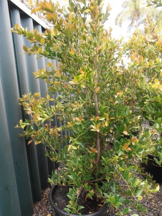 Acmena Acmena Firescreen Landsdale Plants