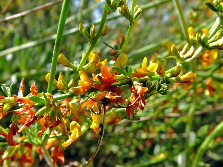 Acmispon Acmispon glaber Fabaceae image 49089 at PhytoImagessiuedu