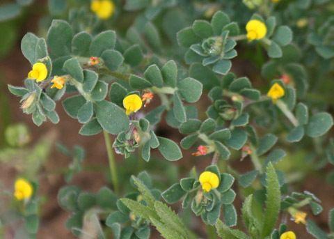 Acmispon California Lotus Acmispon wrangelianus