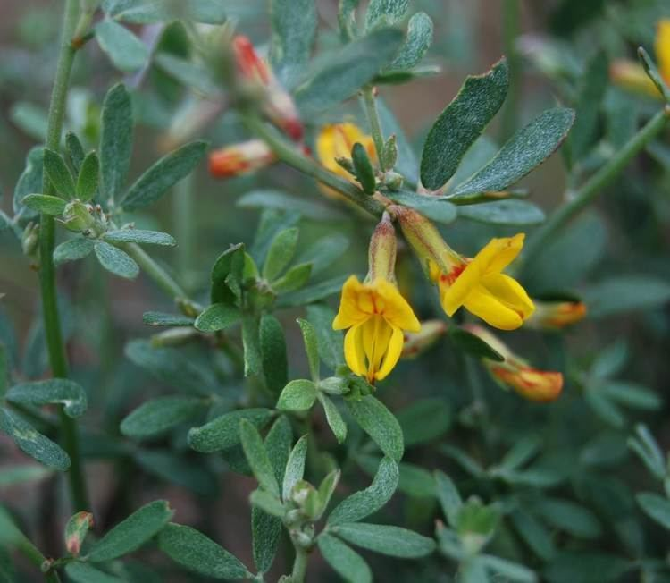Acmispon glaber Deer Weed Native Plants CSU Channel Islands