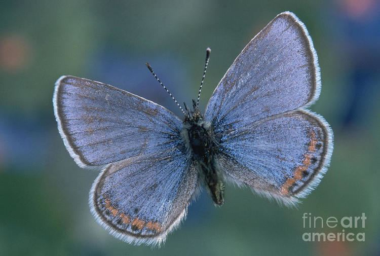 Acmon blue Acmon Blue Butterfly Plebejus Acmon Photograph by Kjell B Sandved