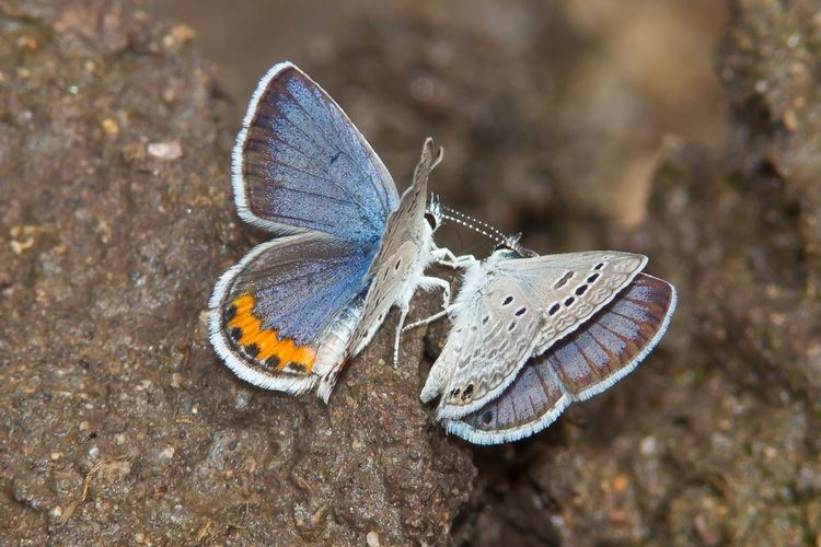 Acmon blue Acmon Blue Plebejus acmon