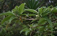 Acnistus arborescens Acnistus arborescens Wikipedia