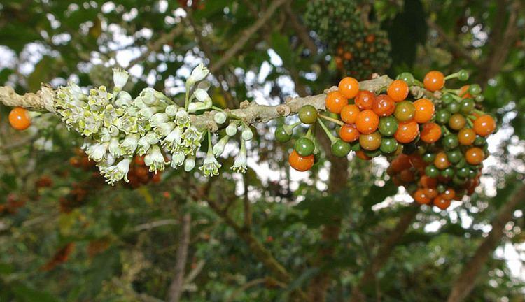 Acnistus arborescens Acnistus arborescens Images Useful Tropical Plants