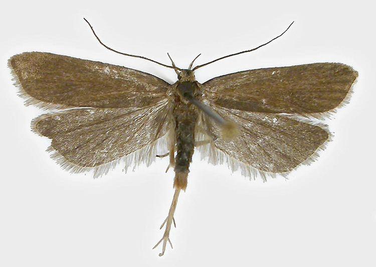 Acompsia cinerella