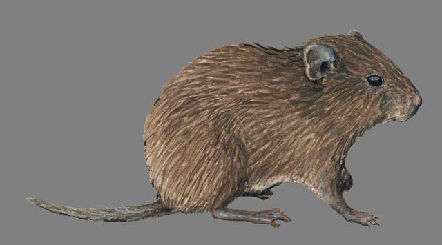 Aconaemys animaldiversityorgcollectionscontributorsGrzim