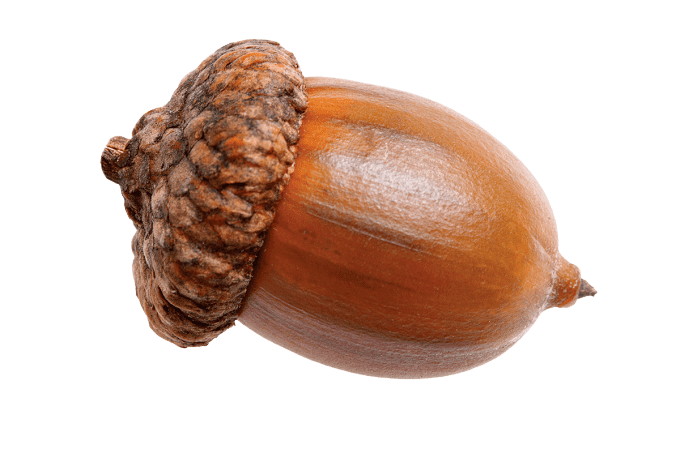 Acorn Why Acorn Nut Food is Used by Indigenous People PNG All