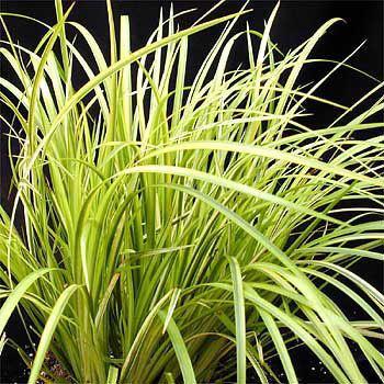 Acorus Acorus Graineus 39ogon39 gra001 A4Dibble Plants