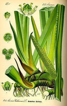 Acorus calamus Acorus calamus Wikipedia