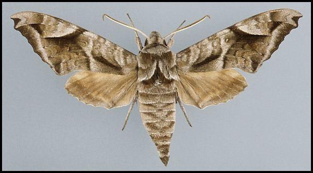 Acosmeryx Acosmeryx naga hissarica
