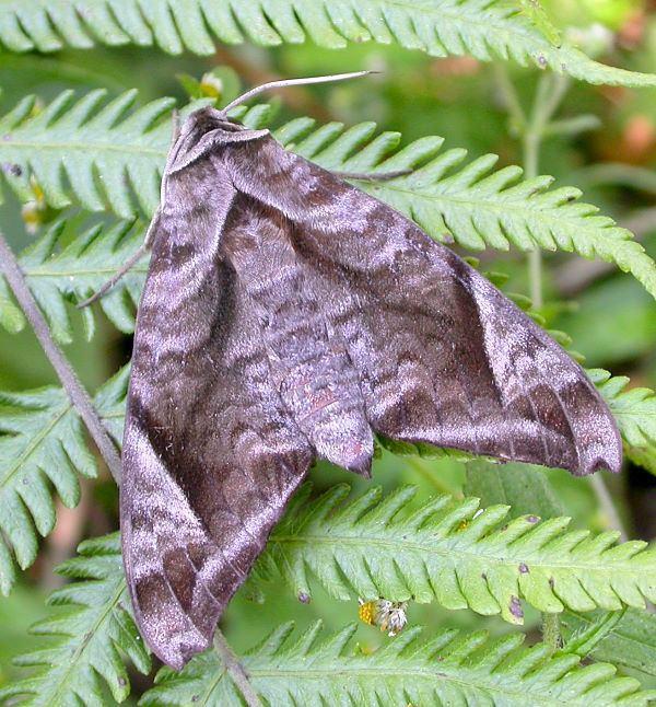 Acosmeryx Sphingidae of the Eastern Palaearctic Acosmeryx naga naga