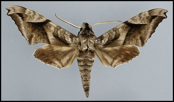 Acosmeryx tpittawaytripodcomsphinxahisa3jpg