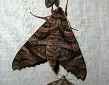 Acosmeryx Acosmeryx sericeus Wikipedia