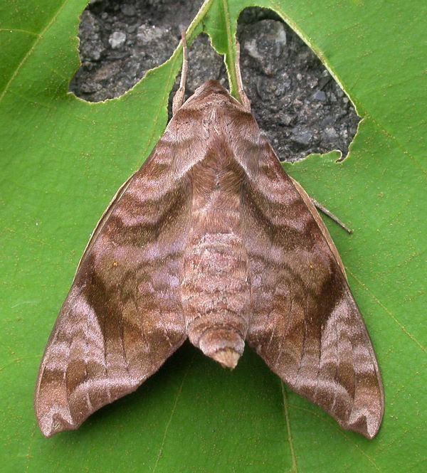 Acosmeryx Sphingidae of the Eastern Palaearctic Acosmeryx castanea