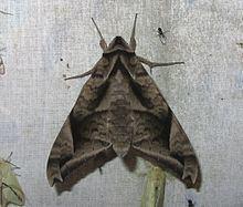 Acosmeryx naga httpsuploadwikimediaorgwikipediacommonsthu