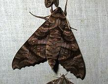 Acosmeryx sericeus httpsuploadwikimediaorgwikipediacommonsthu