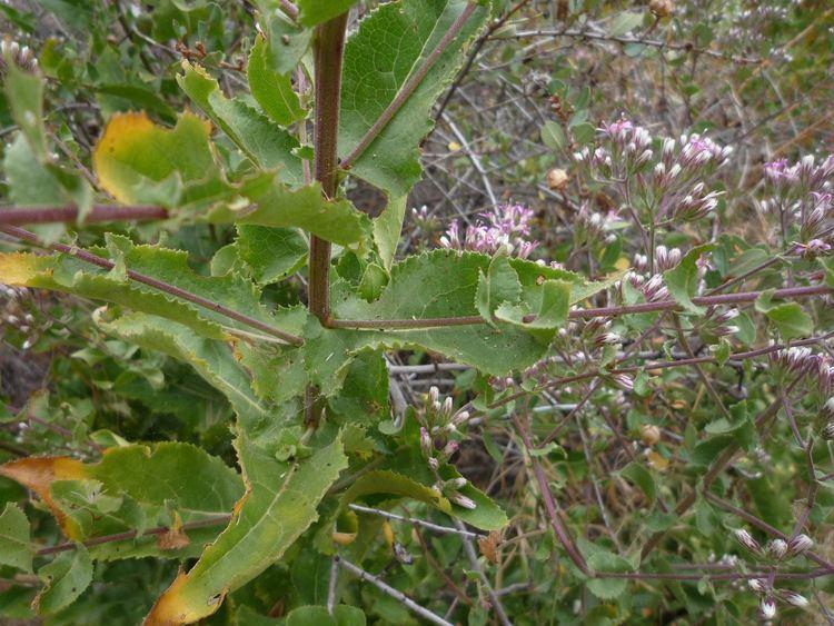 Acourtia microcephala Acourtia microcephala Wildflowers in Santa Barbara