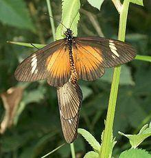 Acraea esebria httpsuploadwikimediaorgwikipediacommonsthu