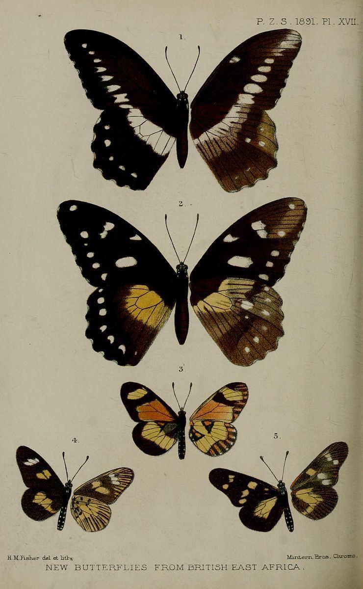 Acraea excelsior