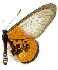 Acraea lia httpsuploadwikimediaorgwikipediacommons33