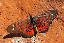 Acraea pharsalus httpsuploadwikimediaorgwikipediacommonsthu