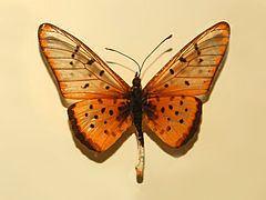 Acraea pseudegina httpsuploadwikimediaorgwikipediacommonsthu