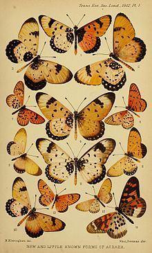 Acraea pseudolycia httpsuploadwikimediaorgwikipediacommonsthu